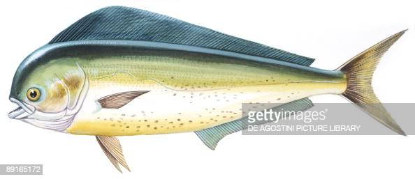 Fishes Perciformes Coryphaenidae Common dolphinfish illustration