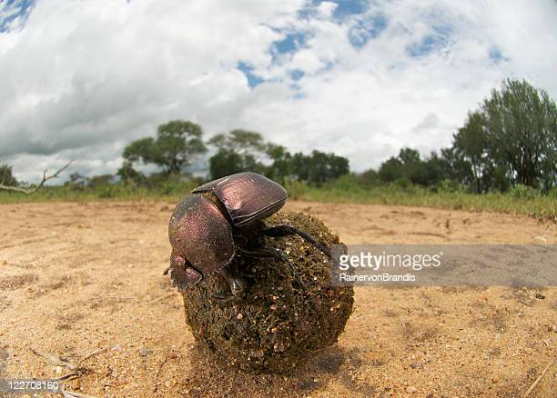fisheye dung beetle with dunball