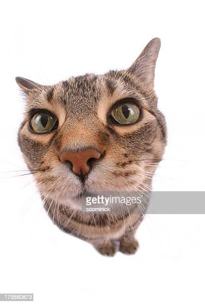 Fisheye Tabby Cat Isolated on White
