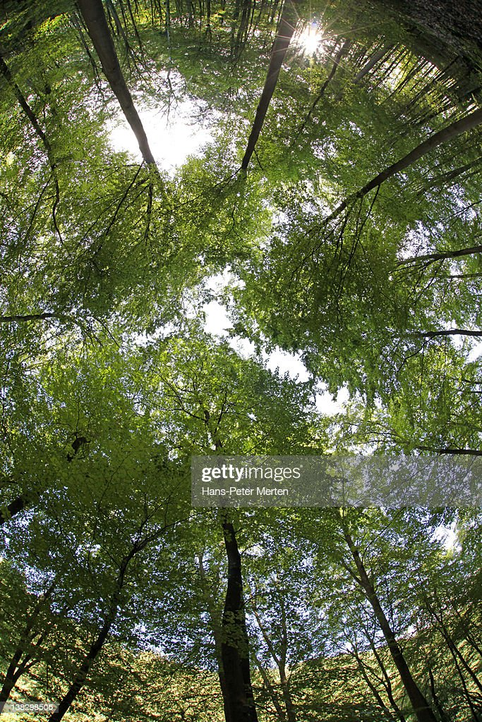 fisheye view of a beech forest : Stock Photo