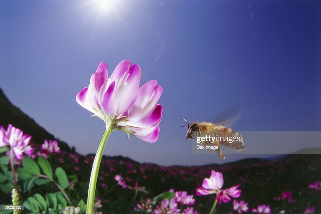 Fisheye view of bee approaching pink flower, close up : Stock Photo