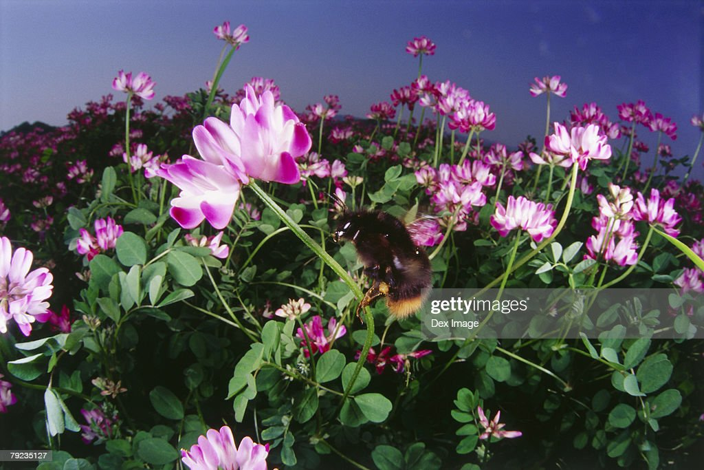 Fisheye view of bee hovering above pink flowers : Stock Photo