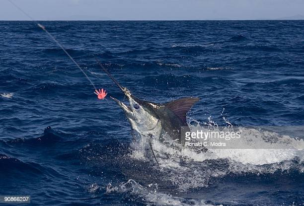 Fishing for blue marlin on September 11 2009 in St Thomas US Virgin Islands