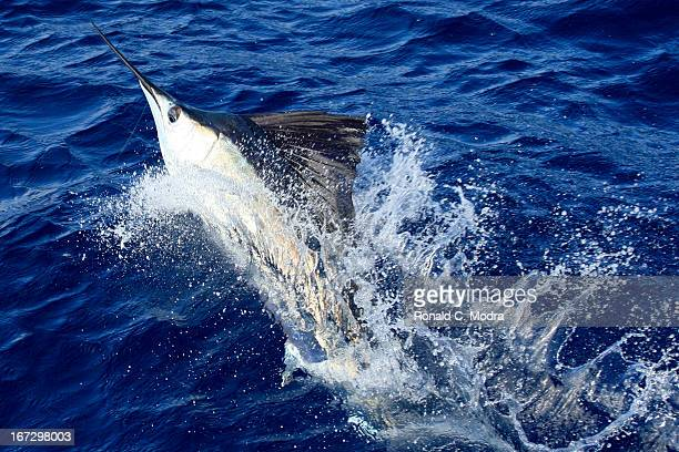 Fishing for sailfish on April 18 2013 in Key West Florida