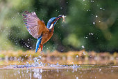 Kingfisher emerging with a fish