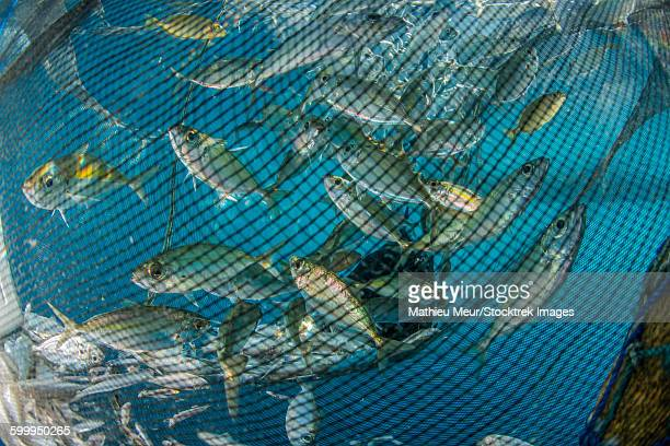 Fishing net with silvery and golden fish inside.
