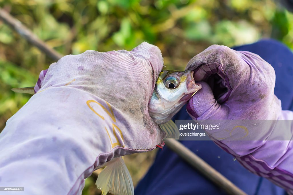 Fishing on a lake. Fresh fish : Stock Photo