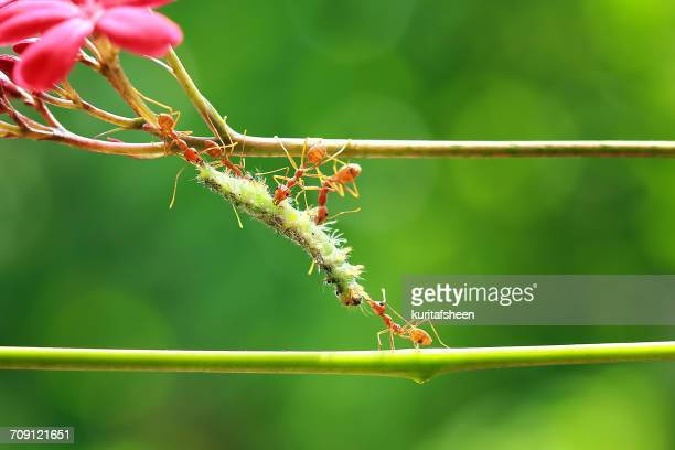 Five ants feeding on a caterpillar, Indonesia