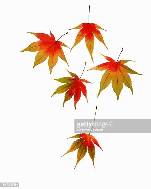 Five autumnal Japanese maple leaves.