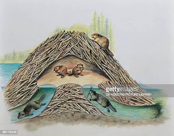 Five beavers in their den