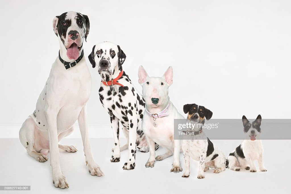 Five black and white dogs sitting side by side in studio : Stock Photo