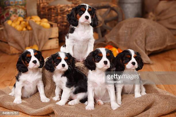 Five Cavalier King Charles Spaniel puppies