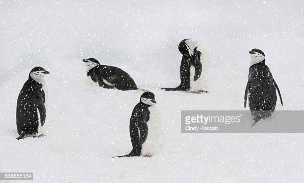 Five Chinstrap Penguins Resting on the Snow