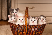 Five cute kittens in braided bascket looking at camera