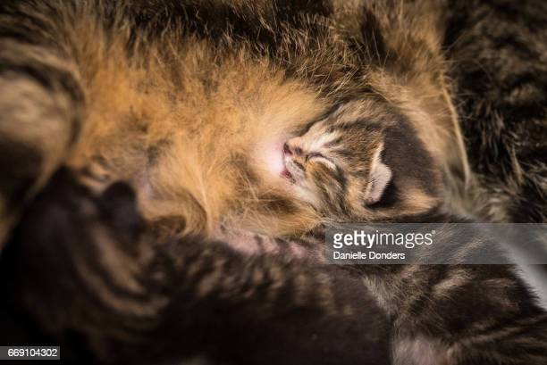 Five day old newborn kitten suckling from its mother