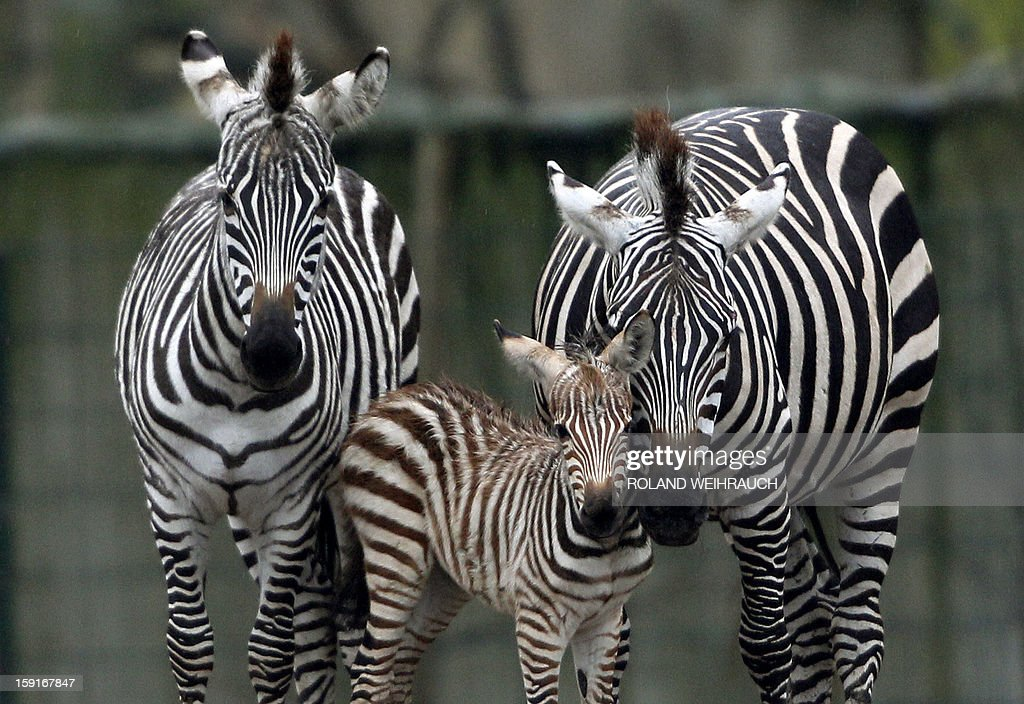 Five days old zebra Simon (C) explores its enclosure flanked by its mother Farida (R) and its sister Franka at the Zoom Adventure Park in Gelsenkirchen, western Germany, January 9, 2013. AFP PHOTO / ROLAND WEIHRAUCH GERMANY OUT