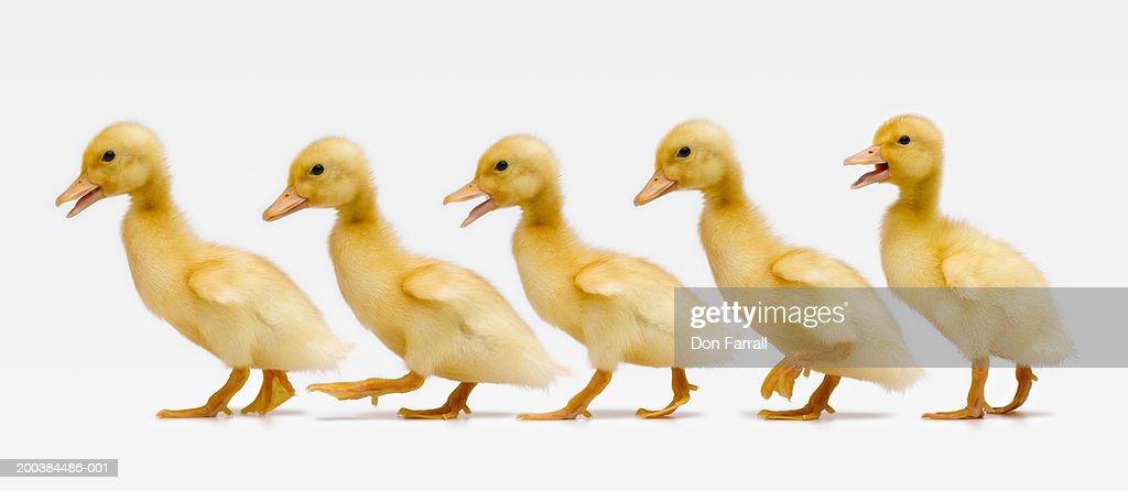Five ducklings in row, side view (Digital Composite)