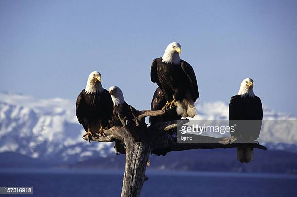 Five Eagles on Perch