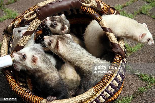 Five ferrets