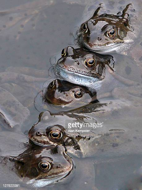 Five frogs in pond