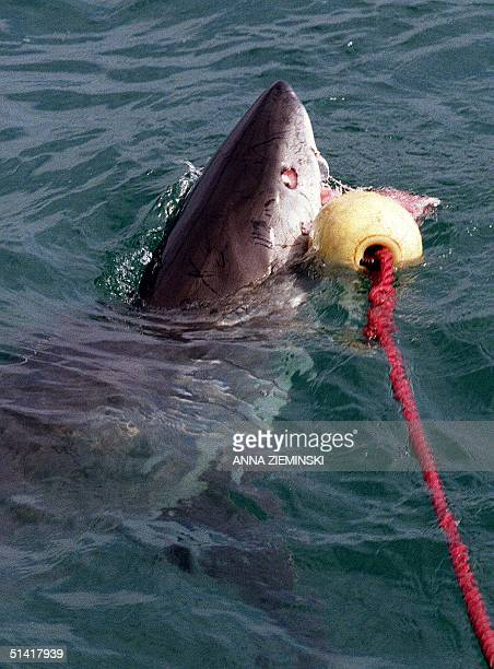 A five meter Great White Shark attacks bait thrown to it 16 September off the coast of Gansbaai about 100 kilometres from Cape Town Tourists pay...