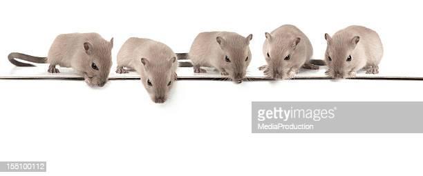 Five mice looking down