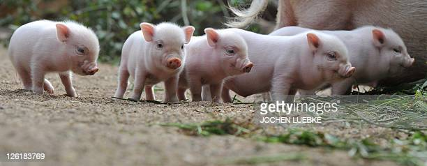 Five minipig piglets stand around their mother on September 23 2011 at the zoo in Hanover central Germany Adult mini pigs reach a weight of up to 70...