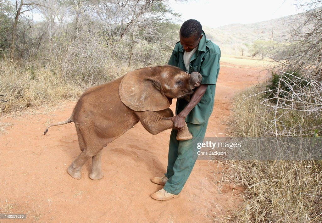 A five month old orphaned elephant called 'Tembo' plays with his keeper Thomas Chalice who has nutured the elephant at Tony Fitzjohn's Mkomazi rhino sanctuary on June 19, 2012 in Mkomazi, Tanzania. The Aspinall Foundation along with the Tusk Trust and the George Adamson Trust combined forces to stage a rare translocation of three captive born black rhino to Mkomazi National Park in Tanzania in order to rejuvenate numbers of the black rhino in the area. The three animals, Grumeti, Monduli and Zawadi were airlifted in a dedicated DHL Boeing 757 from Manston Airport in Kent direct to Kilimanjaro Int Airport in Tanzania. The rhino have been donated by Damian Aspinall, Chairman of The Aspinall Foundation, from their breeding group at Port Lympne Wild Animal Park in Kent. The reintroduction of endangered species to the wild to assist breeding programmes is a major focus of The Aspinall Foundation. Prince William as Patron of Tusk Trust and a dedicated campaigner against poaching visited the rhinos at Port Lympne ahead of their translocation and today released a speech via the BBC highlighting his dedication to the fight against the illegal trade of ivory.