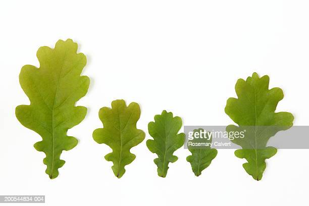 Five oak leaves, against white background, close-up