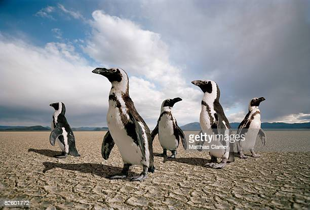 five penguins lost in a dry lake bed