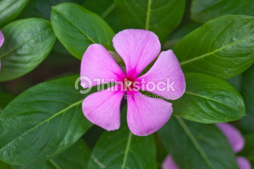 Five petal flower stock photo thinkstock five petal flower mightylinksfo