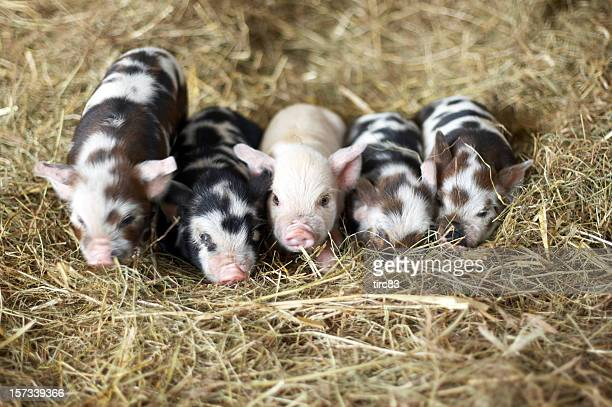 Five piglets