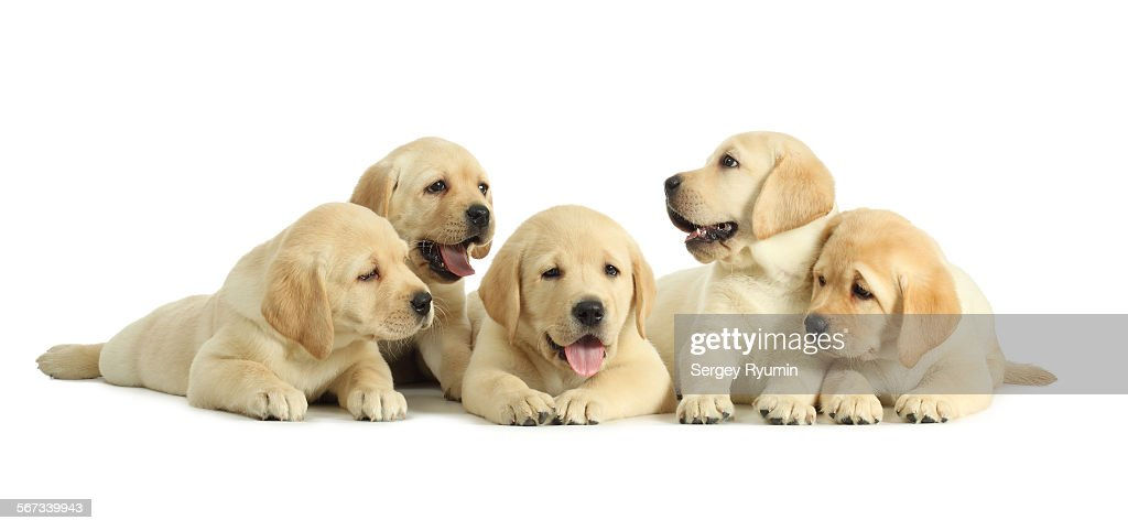 Five puppies on white