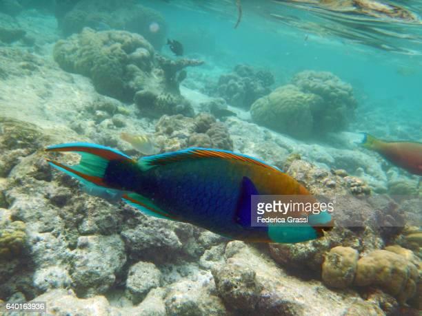 Five saddle or Dusky-capped Parrotfish, Scarus scaber