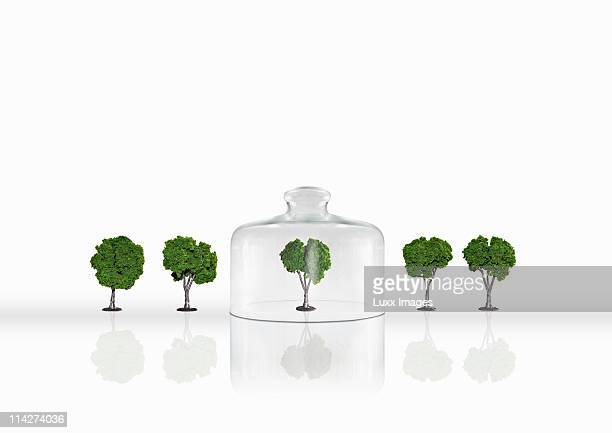 Five trees, one under a cloche