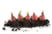 five tulip bulbs with sprouts growing in potting soil isolated with small shadow on a white background, concept gardening for spring planting, copy space, selected focus
