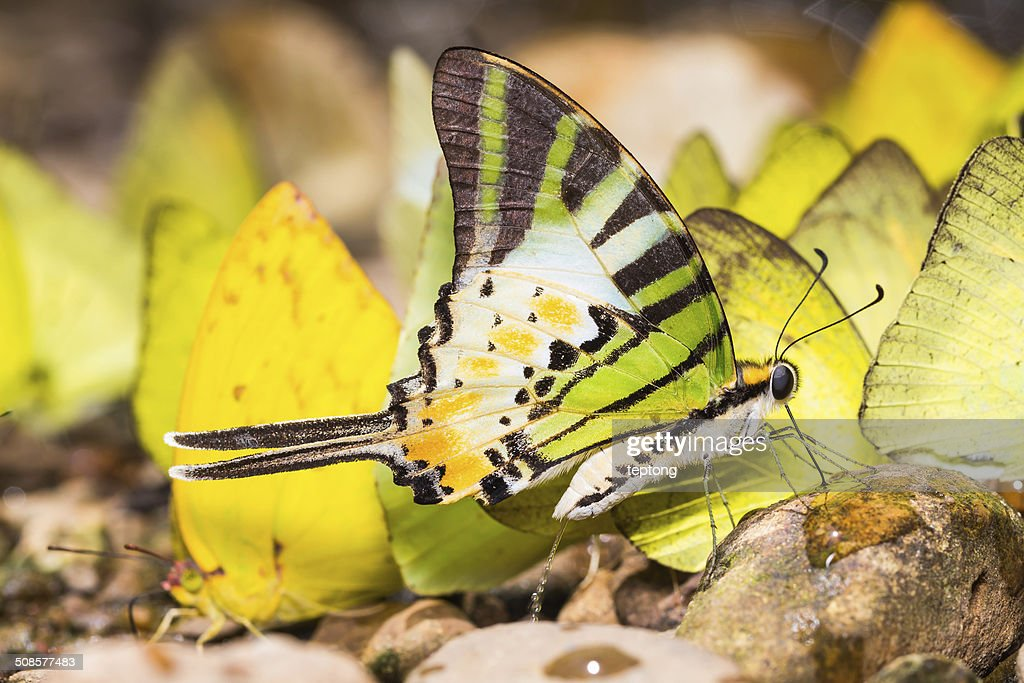 Fünf-bar swordtail butterfly : Stock-Foto
