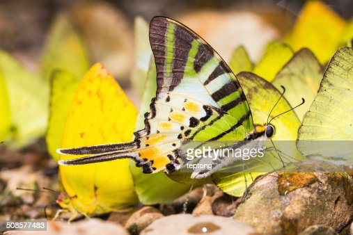 Five-bar swordtail butterfly : Stock Photo