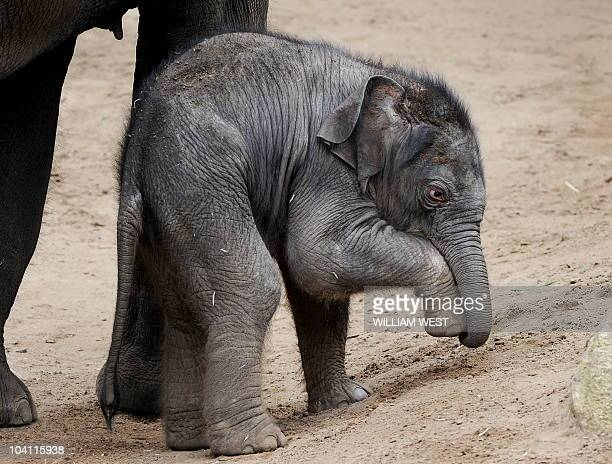 A fivedayold Asian elephant calf walks around his enclosure at the Melbourne Zoo on September 15 2010 The unnamed firstever male calf to be born at...