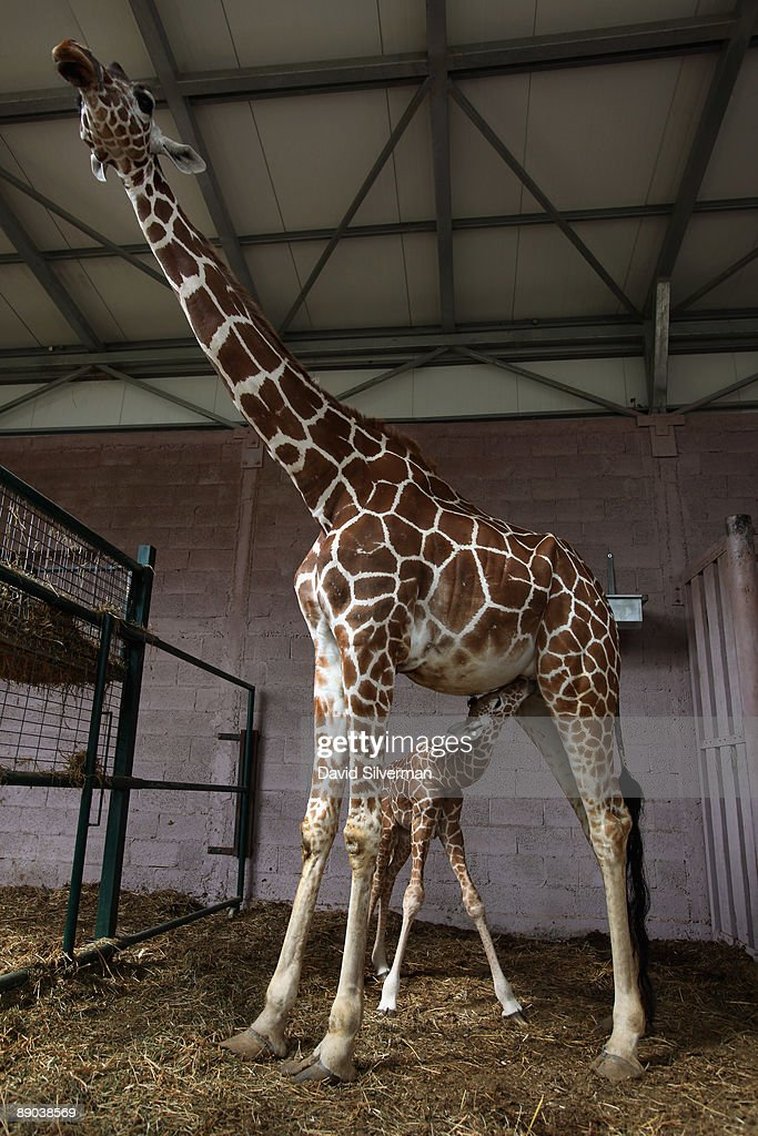 A five-day-old baby giraffe nurses from its mother, Denisa, in their compound at the Safari Park zoo on July 15, 2009 in Ramat Gan, Israel. The still unnamed female calf is twenty-year-old Denisa's eleventh offspring, which zoo officials say is a world record for a giraffe in captivity.