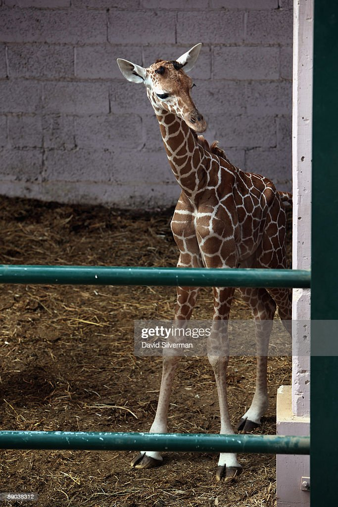 A five-day-old baby giraffe peeks out of its enclosure as it is introduced to the public at the Safari Park zoo on July 15, 2009 in Ramat Gan, Israel. The still unnamed female calf is twenty-year-old Denisa's eleventh offspring, which zoo officials say is a world record for a giraffe in captivity.