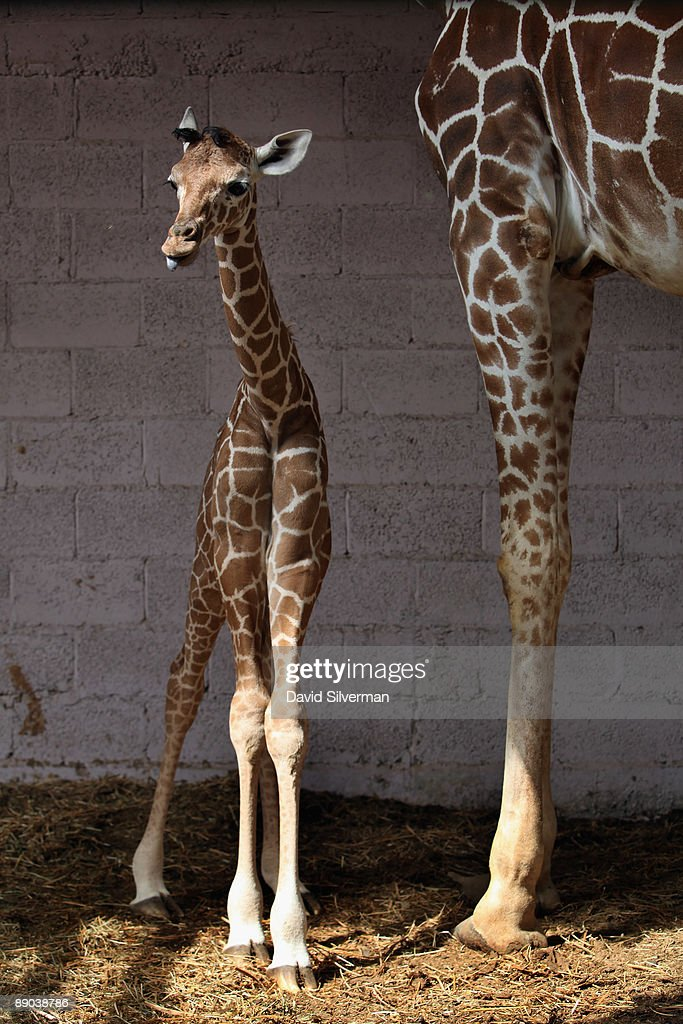 A five-day-old baby giraffe stands by its mother, Denisa, as it is introduced to the public in their compound at the Safari Park zoo on July 15, 2009 in Ramat Gan, Israel. The still unnamed female calf is twenty-year-old Denisa's eleventh offspring, which zoo officials say is a world record for a giraffe in captivity.