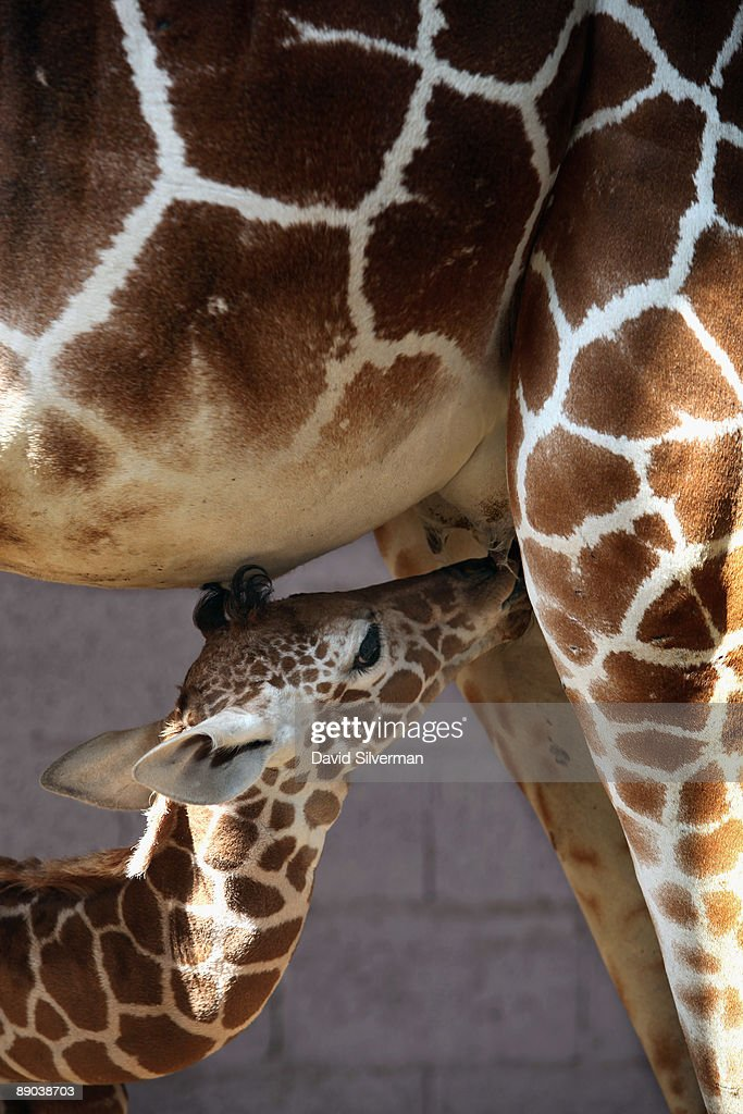 A five-day-old baby giraffe stands by its mother, Denisa, in their compound at the Safari Park zoo on July 15, 2009 in Ramat Gan, Israel. The still unnamed female calf is twenty-year-old Denisa's eleventh offspring, which zoo officials say is a world record for a giraffe in captivity.