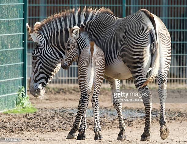 Fivedayold Imperial zebra 'Heinrich' stays close to his mother Kianga at his enclosure at Berlin's Tierpark zoo November 12 2013 The Grevy's zebra is...