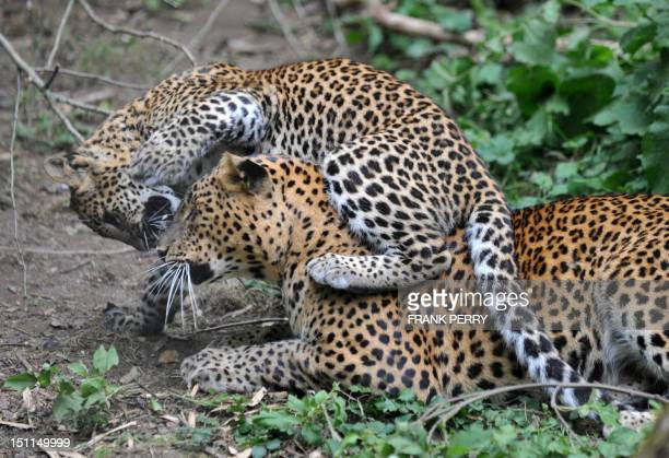 A fivemonth leopard from Sri Lanka born in the bioparc of DouelaFontaine plays with his mother Iris on September 2 2012 The Sri Lanka leopard is the...