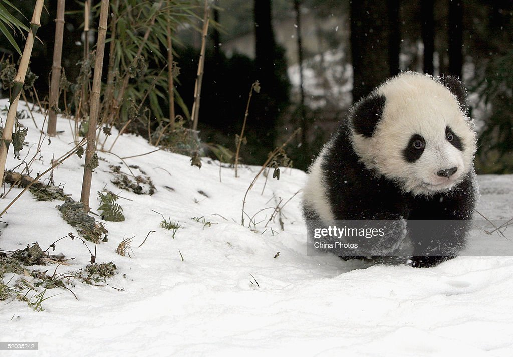 the study of a panda In a study published monday in current biology, scientists explain that 22,000-year old fossils represent an ancient, long-lost lineage of panda these pandas split from present-day pandas about .