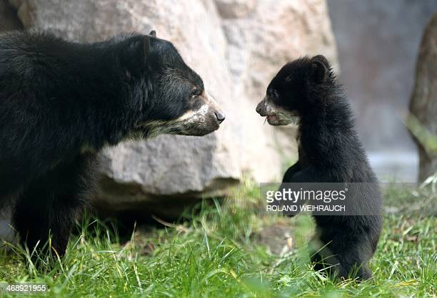 A fivemonthold still nameless bear explores its enclosure with its mother Huanca on February 12 2014 at the zoo in Duisburg AFP PHOTO / DPA / ROLAND...