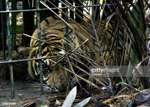 A fiveyearold female Sumatran tiger is trapped before being evacuated by rangers and villagers from the forest in the hills of Timbulun Aia Tajun in...