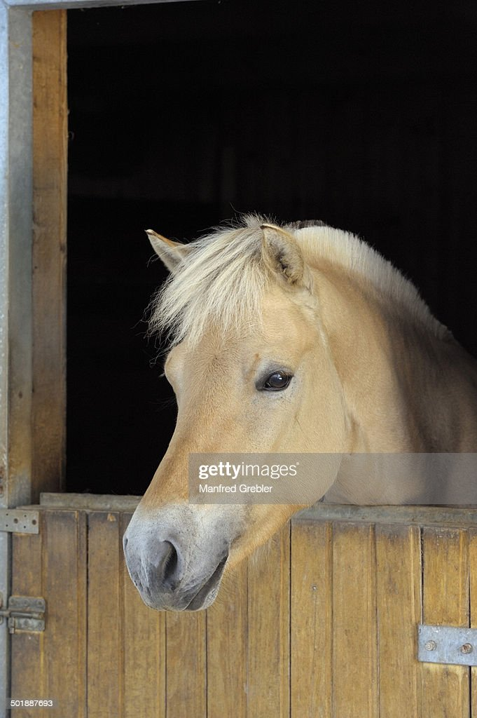 Fjord horse looking out of his box, Bavaria, Germany