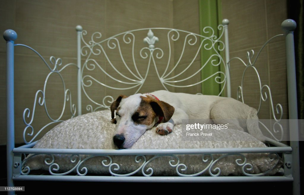 'Flag', a Jack Russell terrier sleeps in bed in its hotel room at Actuel Dogs on April 19, 2011 in Vincennes, France. Opened in November 2010 by Devi and Stan Burun, Actuel Dogs is a five-star luxury hotel for dogs with four single rooms and two suites. With the aim of meeting the dogs' needs, the hotel offers activities including doggy walks, doggy rando'(hiking), doggy jogs, doggy velo'(running next to a bike) and other services such as dog massage. The hotel also caters to the needs of people living in small appartments or who don't have the time to walk their dogs.